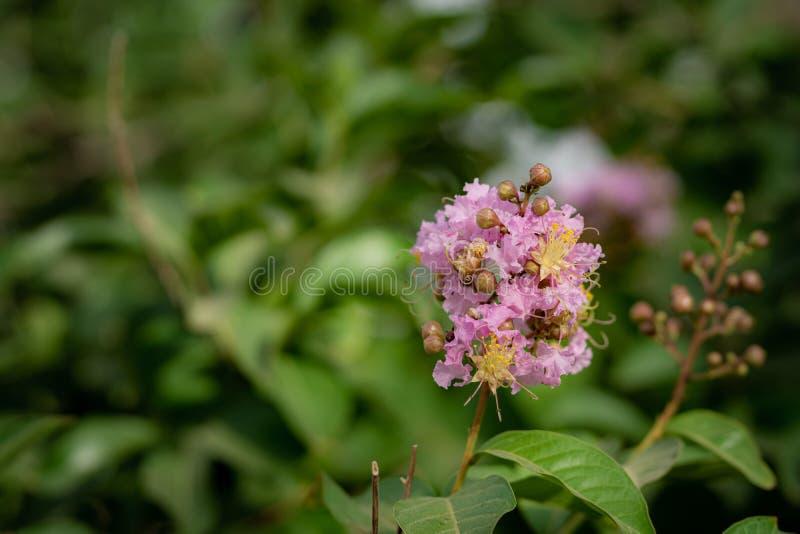 Flor cor-de-rosa da ?rvore foto de stock royalty free