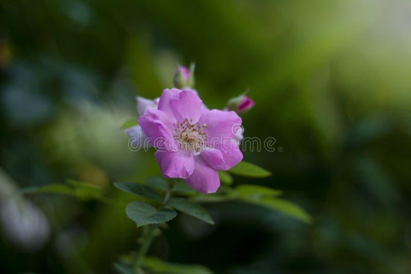 Flor cor-de-rosa das rosas foto de stock royalty free