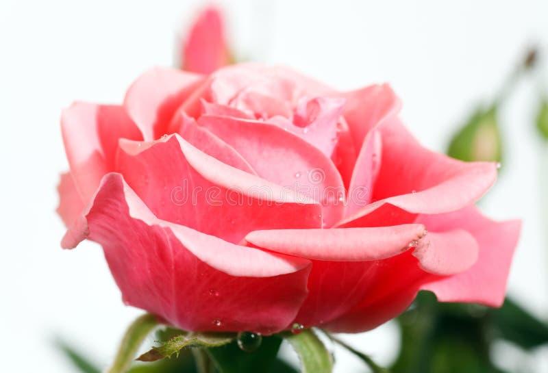 Flor cor-de-rosa de florescência imagens de stock royalty free