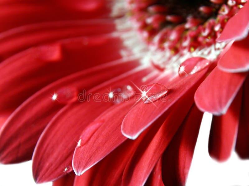 Flor cor-de-rosa de Gerber fotografia de stock