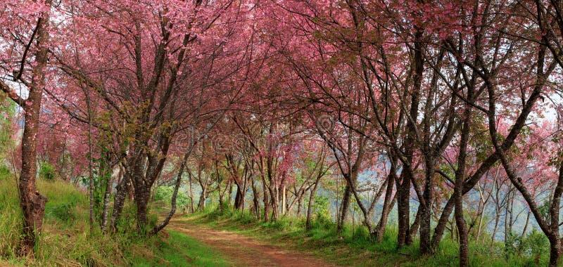 Flor cor-de-rosa de Sakura dentro, Tailândia, flor de cerejeira imagem de stock