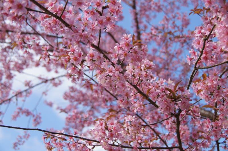Flor cor-de-rosa de sakura em montanhas de Tailândia fotografia de stock
