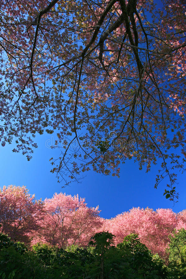 Flor cor-de-rosa de Sakura na montanha em Tailândia, flor de cerejeira fotografia de stock
