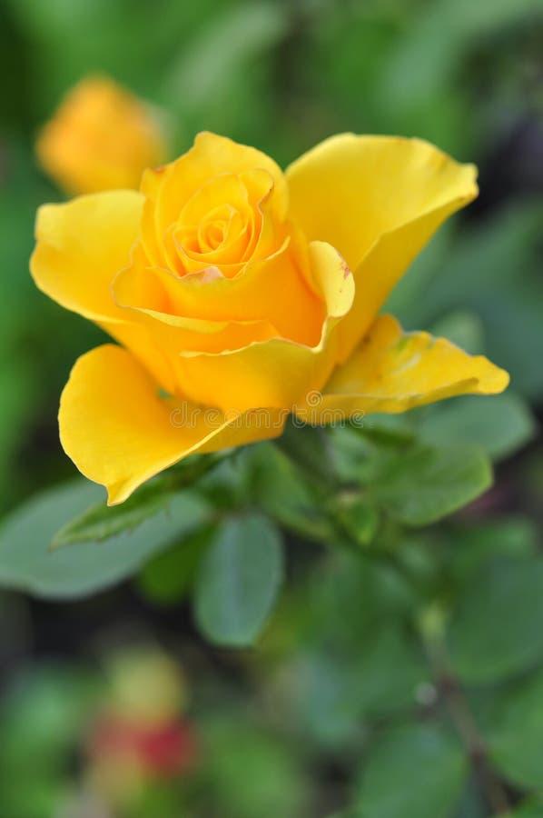 Flor cor-de-rosa do amarelo fotos de stock