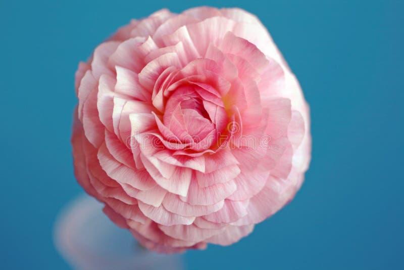 Flor cor-de-rosa do botão de ouro foto de stock