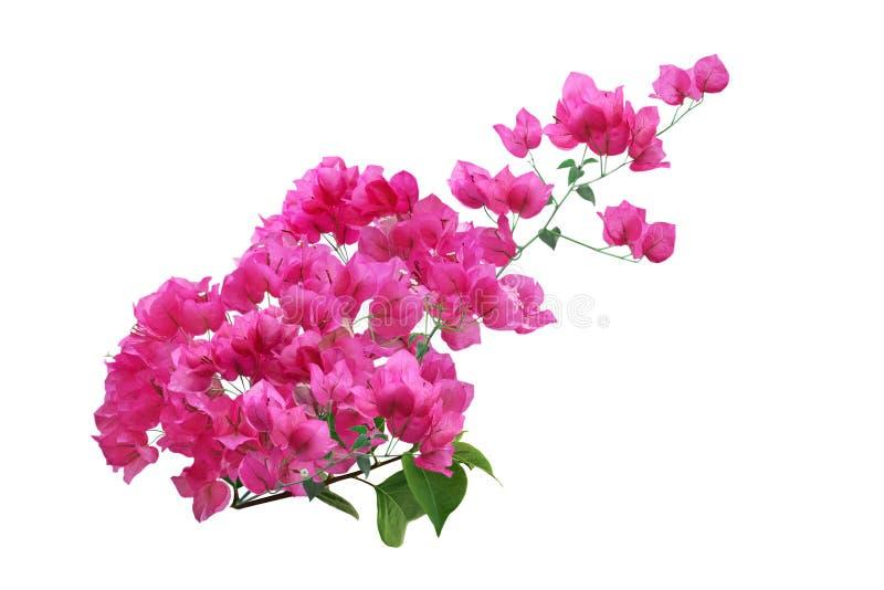 Flor cor-de-rosa do bougainvillea imagens de stock