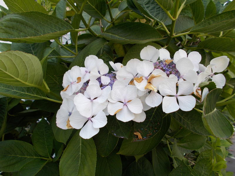 Flor cor-de-rosa do branco foto de stock