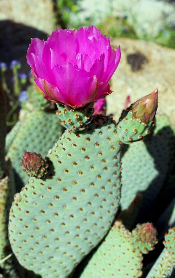 Flor cor-de-rosa do cacto de Beavertail, parque estadual do deserto de Anza Borrego fotos de stock
