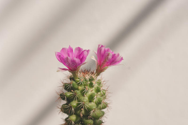 flor cor-de-rosa do cacto do close up com luz e fundo da sombra foto de stock royalty free