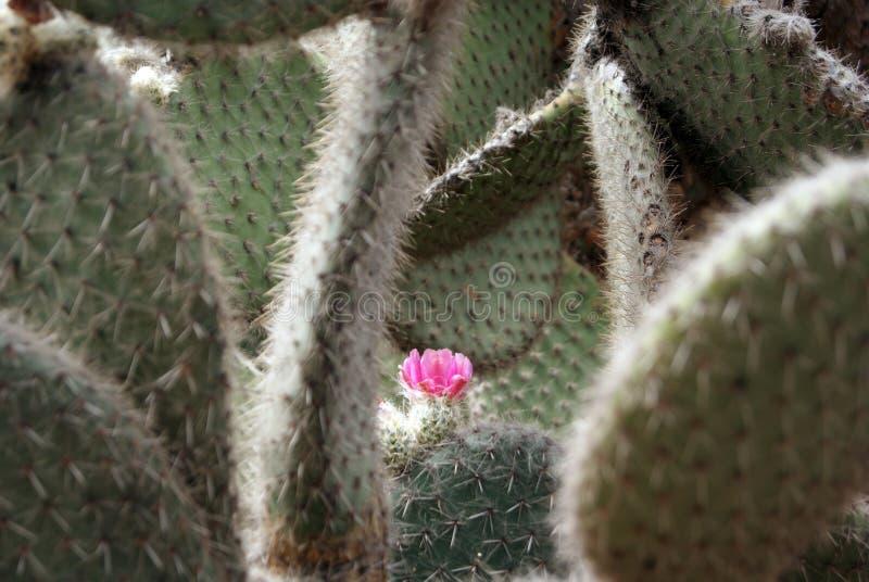 Flor cor-de-rosa do cacto entre os espinhos imagens de stock royalty free