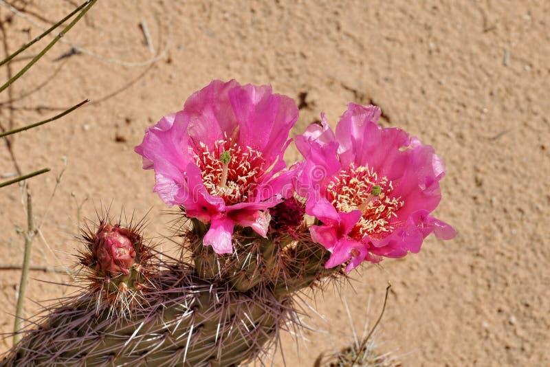 Flor cor-de-rosa do cacto no selvagem imagens de stock