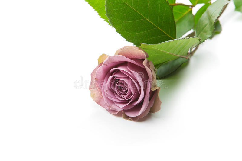 Flor cor-de-rosa do chá bonito foto de stock