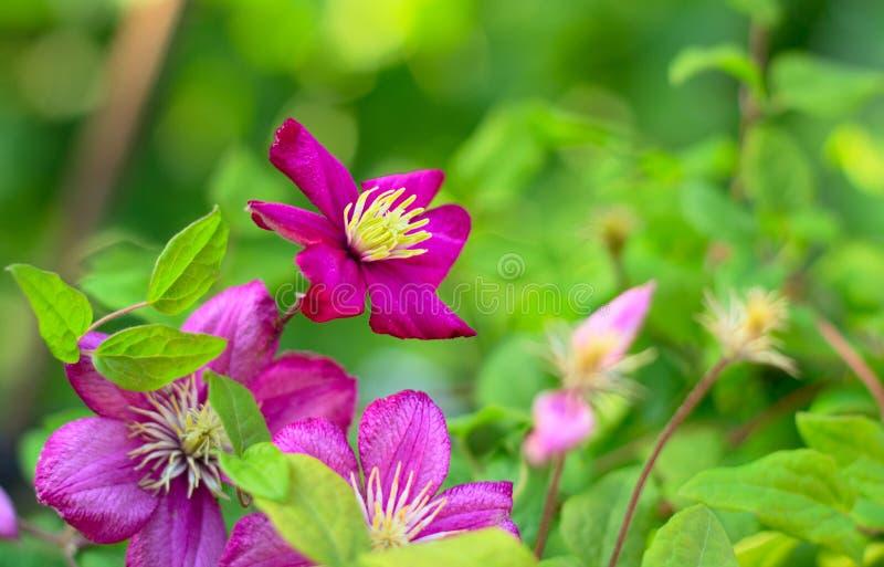 Flor cor-de-rosa do Clematis foto de stock royalty free