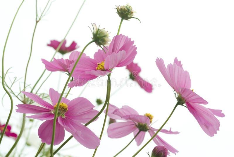Flor cor-de-rosa do cosmos foto de stock