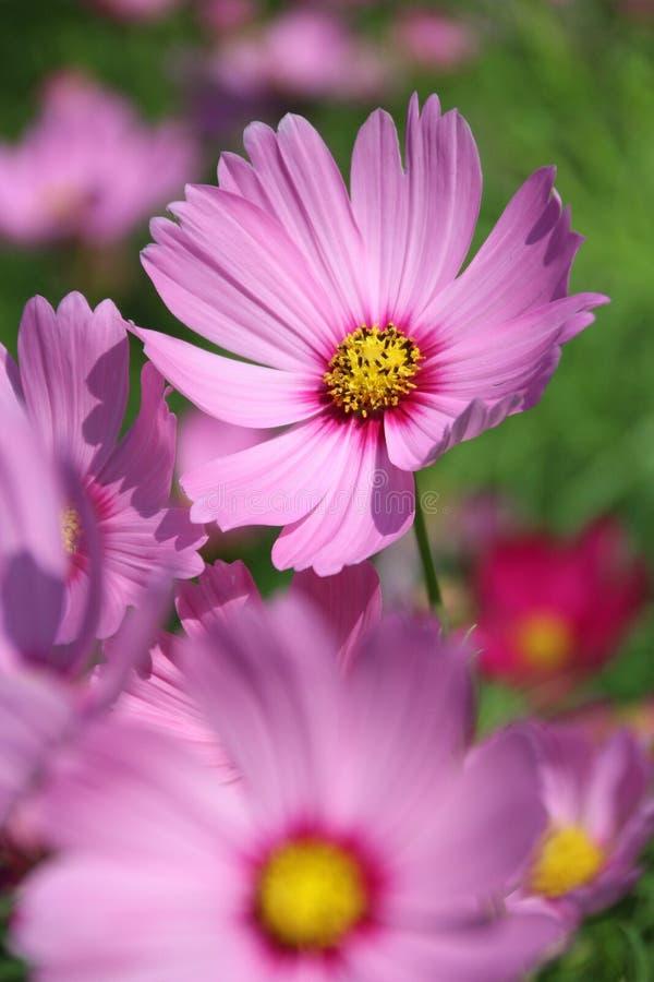 Flor cor-de-rosa do cosmos fotografia de stock