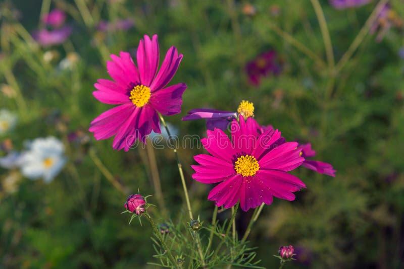 Flor cor-de-rosa do cosmos imagem de stock royalty free
