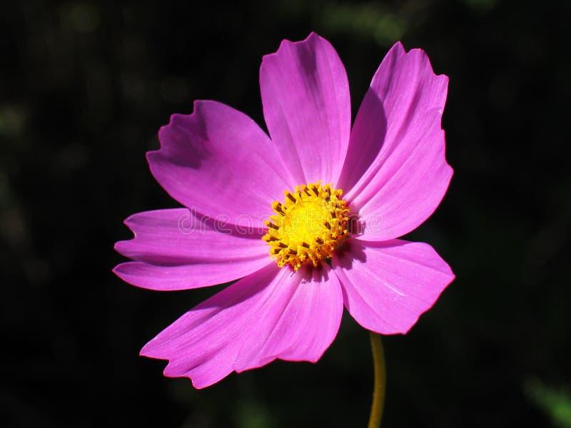 Flor cor-de-rosa do cosmos fotos de stock royalty free