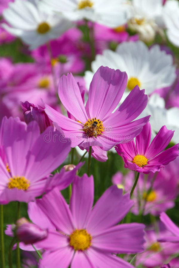 Flor cor-de-rosa do cosmos com abelha imagem de stock royalty free