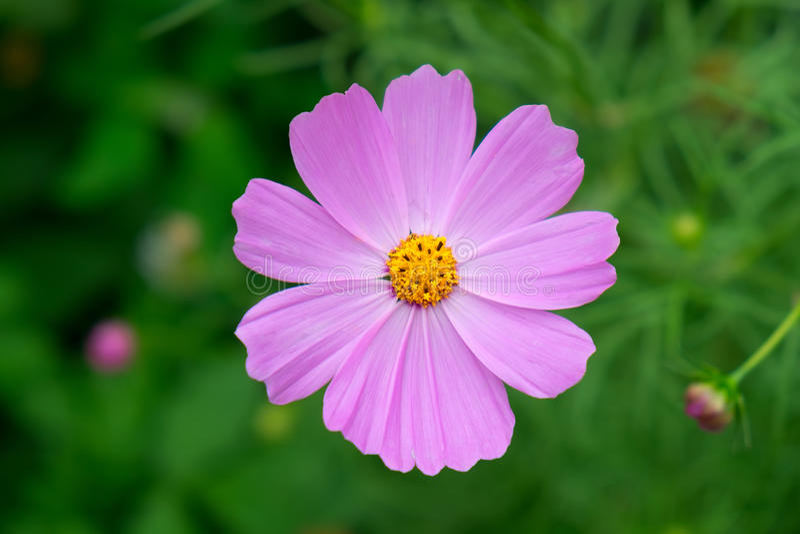 Flor cor-de-rosa do cosmos no jardim fotos de stock royalty free