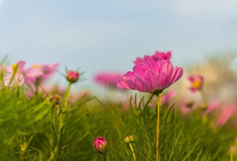 Flor cor-de-rosa do cosmos que floresce belamente fotos de stock royalty free