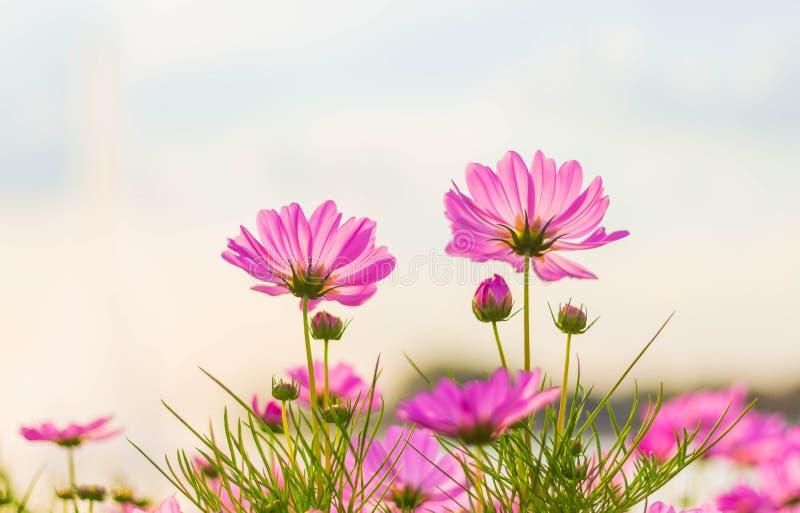Flor cor-de-rosa do cosmos que floresce belamente fotos de stock