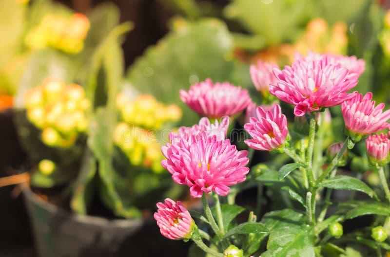 Flor cor-de-rosa do crisântemo na luz solar fotos de stock