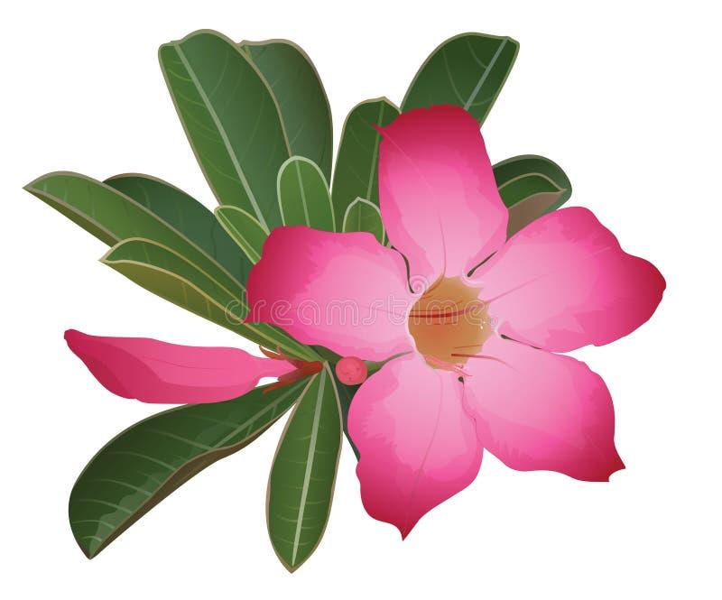 Flor cor-de-rosa do deserto fotografia de stock royalty free