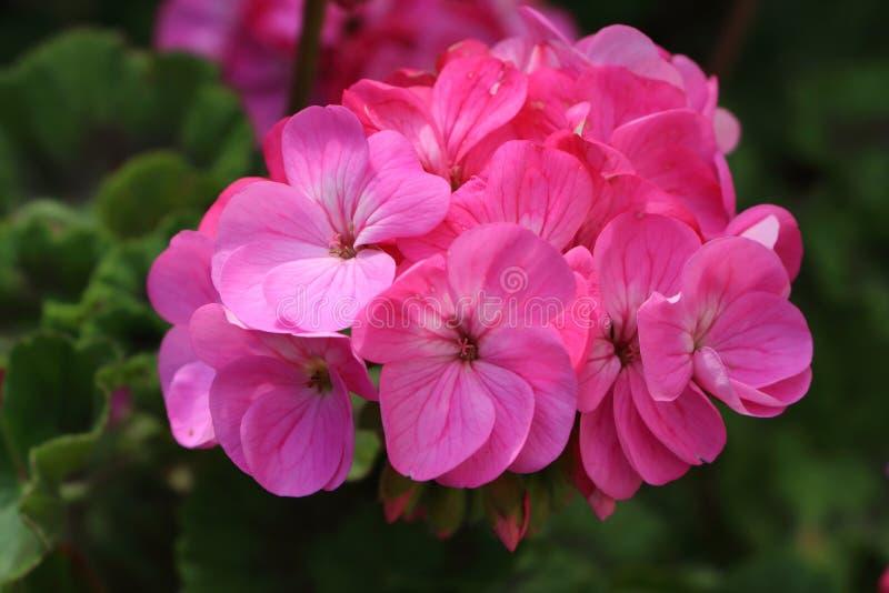 Flor cor-de-rosa do gerânio imagem de stock royalty free