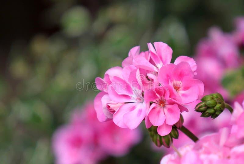 Flor cor-de-rosa do gerânio em detalhe Feche acima da vista imagens de stock