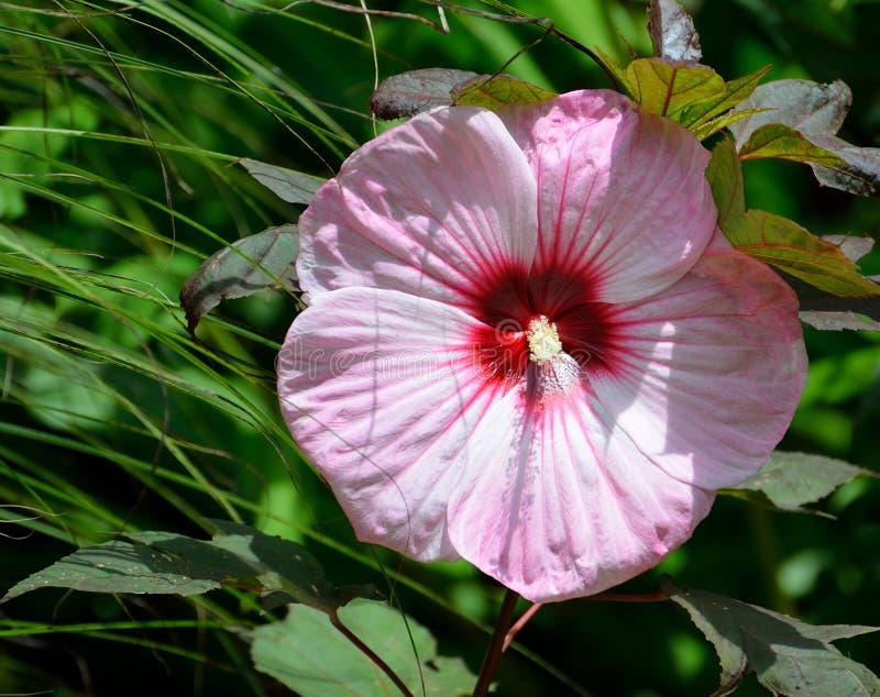 Flor cor-de-rosa do hibiscus fotos de stock royalty free