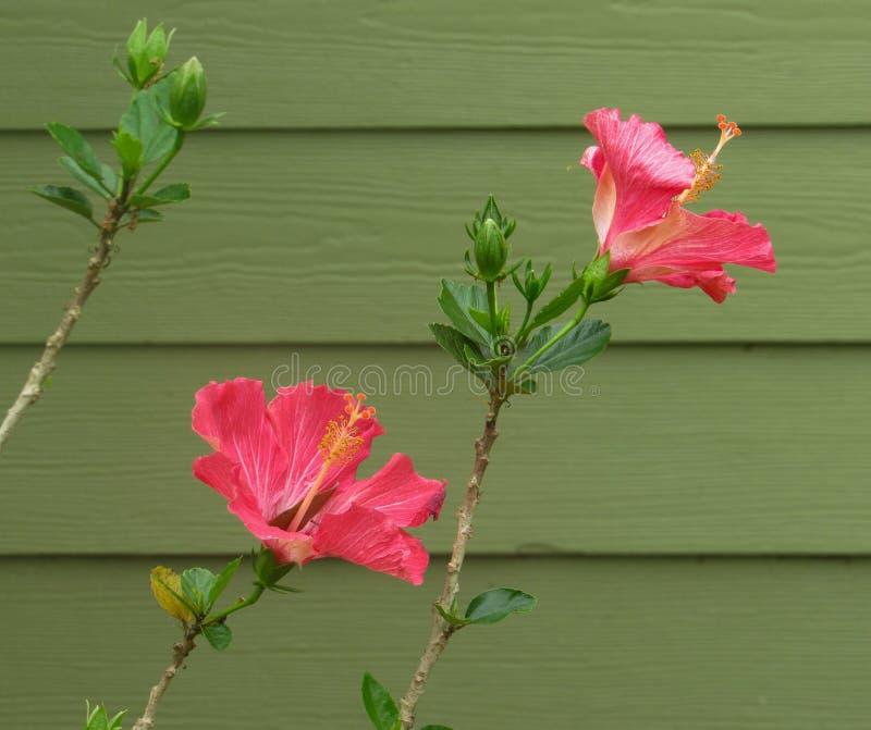 Flor cor-de-rosa do hibiscus na primavera imagens de stock royalty free