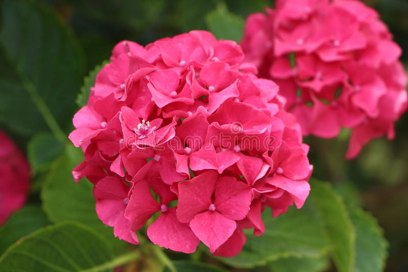 Flor cor-de-rosa do hydrangea foto de stock
