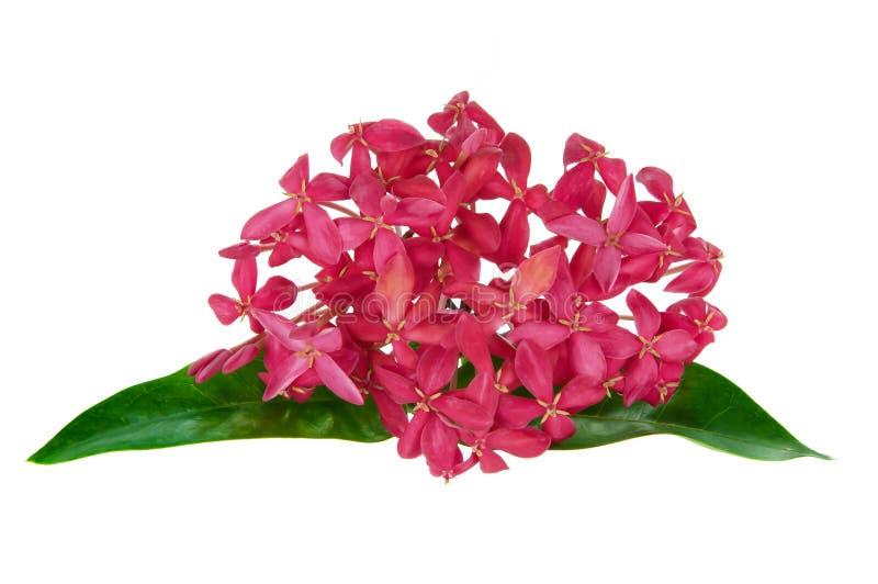 Flor cor-de-rosa do ixora fotografia de stock