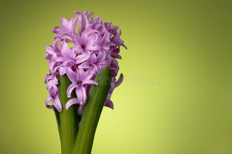 Flor cor-de-rosa do jacinto no verde foto de stock royalty free