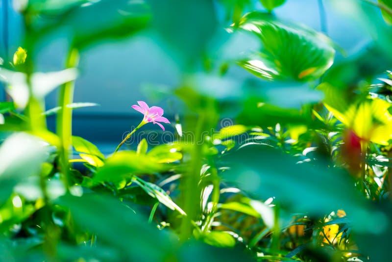 Flor cor-de-rosa do lírio da chuva no jardim imagem de stock royalty free