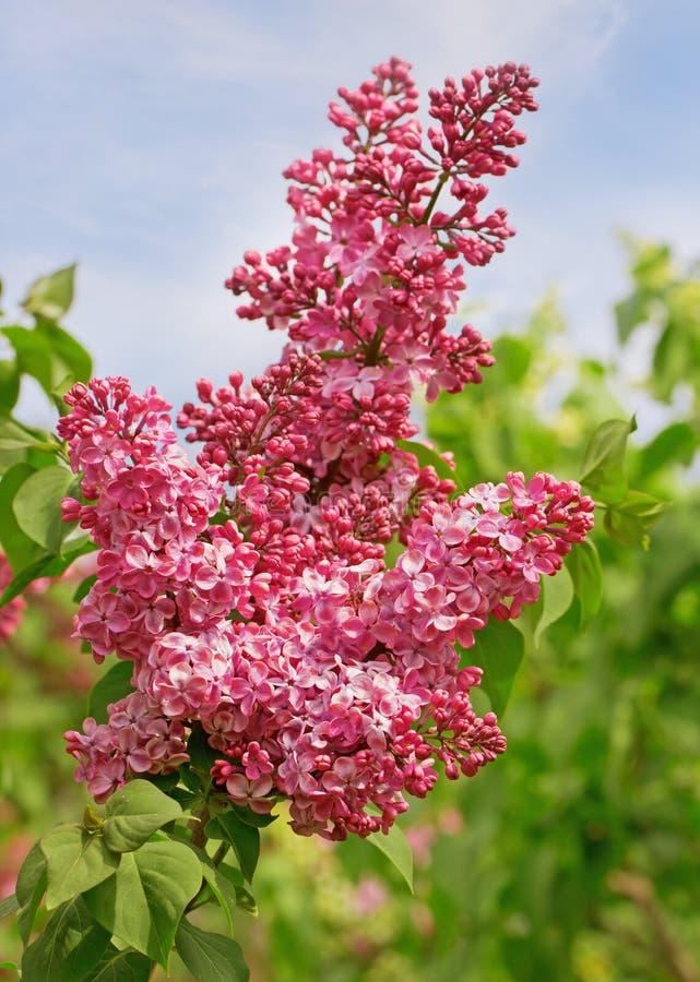 Download Flor cor-de-rosa do lilás foto de stock. Imagem de estação - 65576960