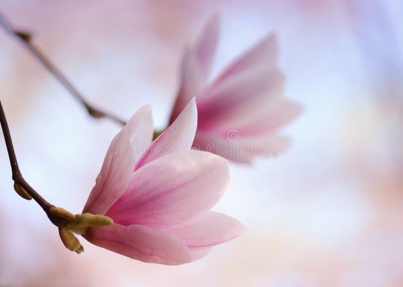 Flor cor-de-rosa do magnolia imagens de stock