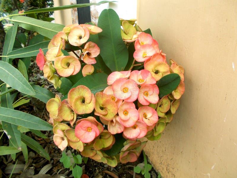 Flor cor-de-rosa do milii do eufórbio fotografia de stock royalty free