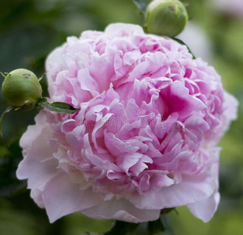 Flor cor-de-rosa do peony foto de stock