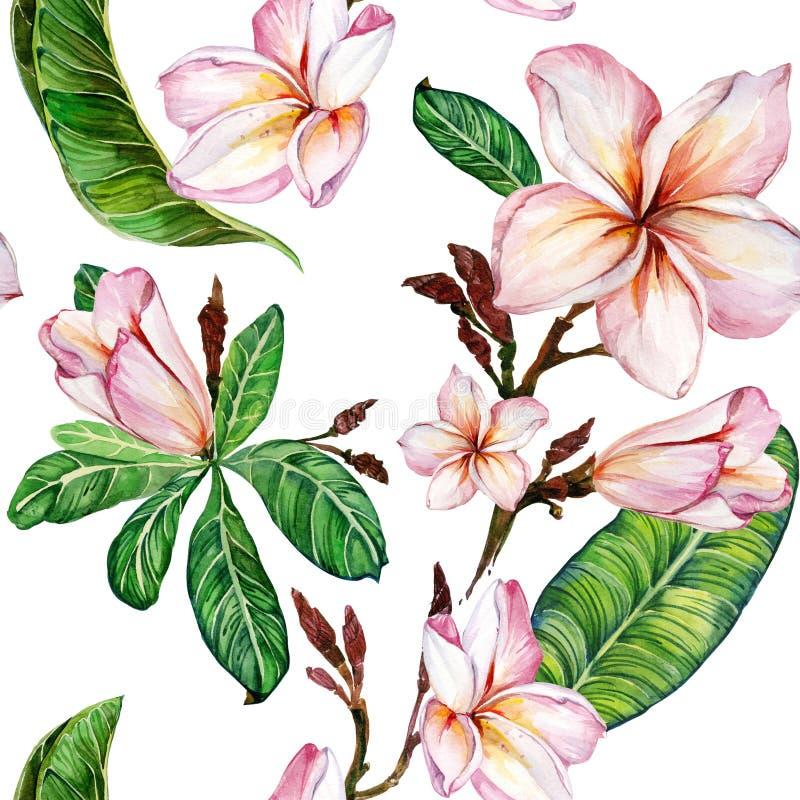 Flor cor-de-rosa do plumeria em um galho Teste padrão floral sem emenda Isolado no fundo branco Pintura da aguarela ilustração royalty free