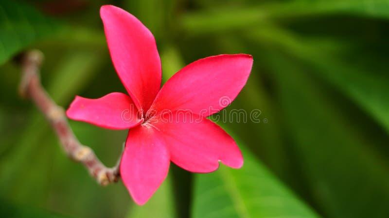 Flor cor-de-rosa do Plumeria que floresce no ramo da árvore no parque Flor do Frangipani imagem de stock