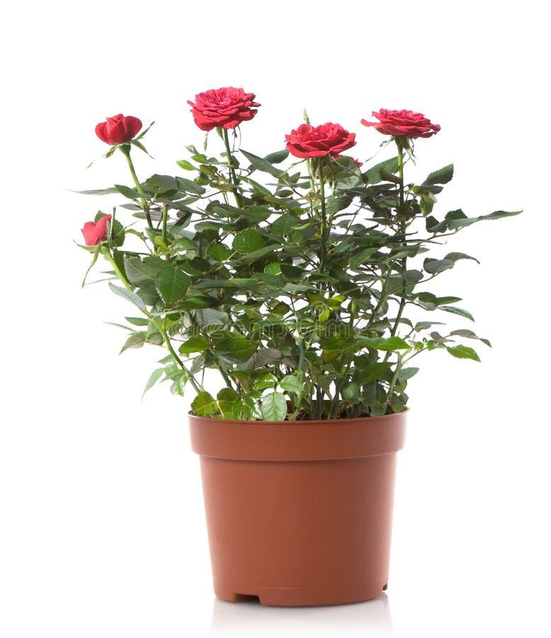 Flor cor-de-rosa do potenciômetro de flores das rosas imagem de stock