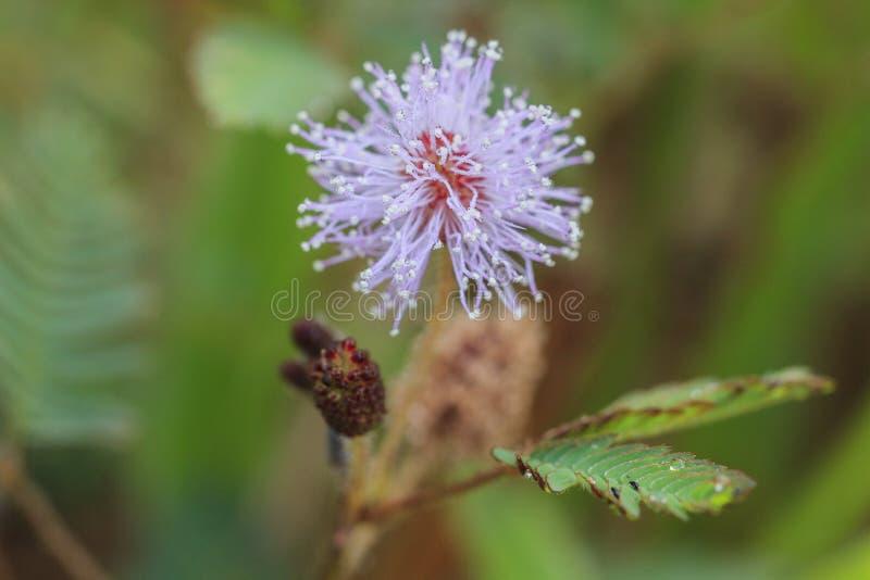 Flor cor-de-rosa do pudica da mimosa fotografia de stock