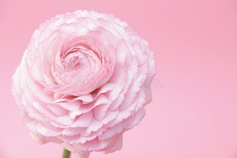 Flor cor-de-rosa do ranúnculo imagens de stock