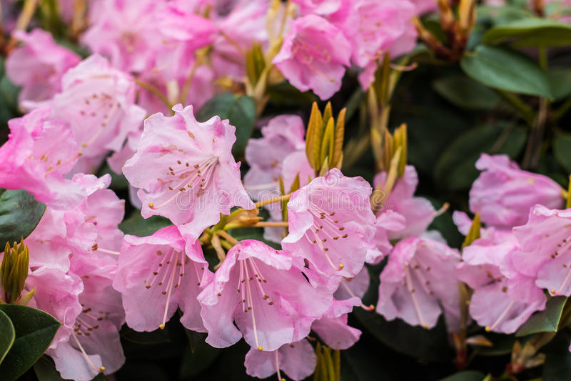 Flor cor-de-rosa do rododendro imagens de stock royalty free