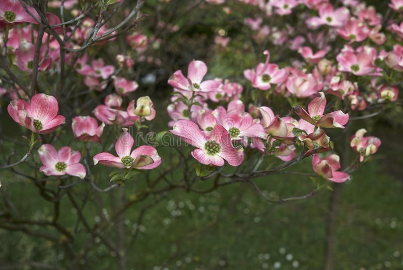 Flor cor-de-rosa do rubra de florida do Cornus imagem de stock