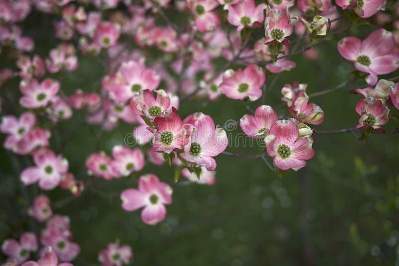 Flor cor-de-rosa do rubra de florida do Cornus foto de stock