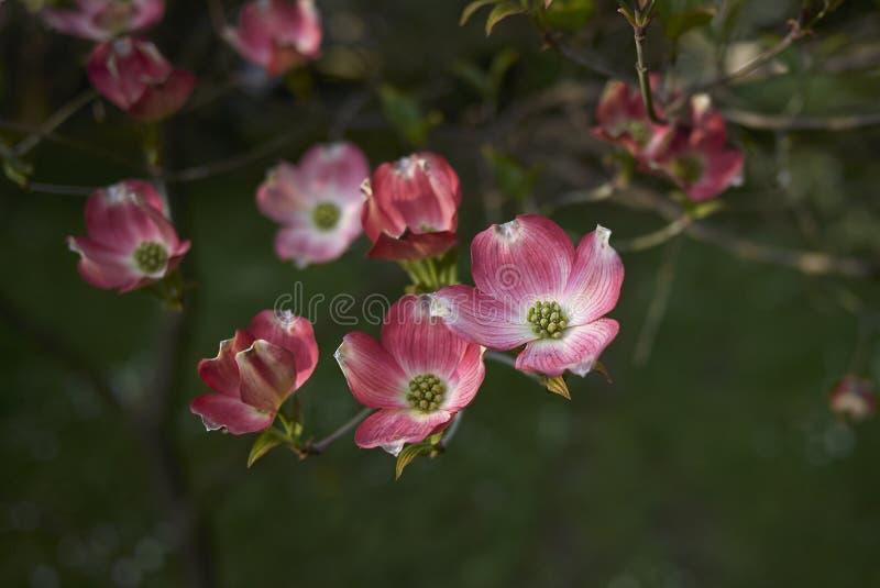 Flor cor-de-rosa do rubra de florida do Cornus imagem de stock royalty free