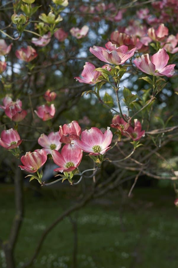 Flor cor-de-rosa do rubra de florida do Cornus fotos de stock royalty free