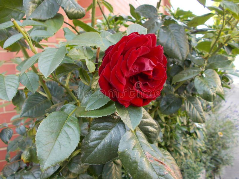 Flor cor-de-rosa do vermelho fotos de stock